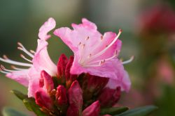 rosa Rhododendron-Blüte