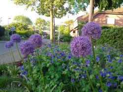 Vorgarten Allium Geranium