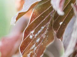 Buchenwolllaus an Fagus sylvatica Purpurea Blutbuche