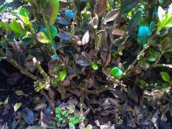 Buchsbaum Pilz 2