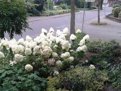 Vorgarten Hydrangea Limelight